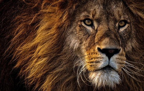 lion-3576045_960_720.jpg