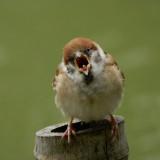 sparrow-4814858_960_720