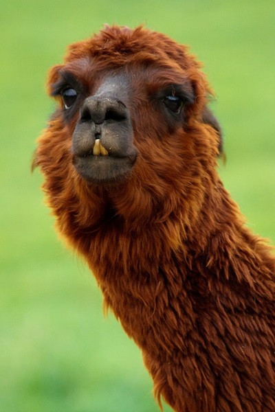 alpaca-18009_960_720.jpg
