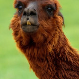 alpaca-18009_960_720
