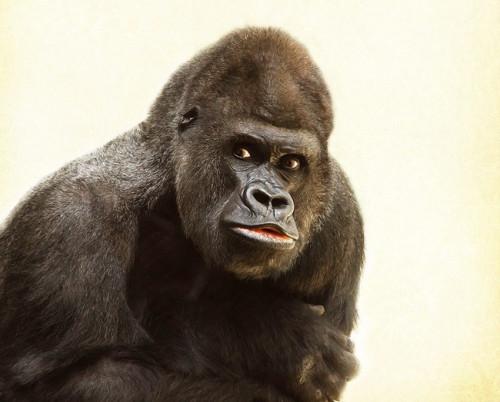 gorilla-448731_960_720.jpg