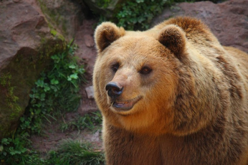 brown-bear-5549435_960_720.jpg