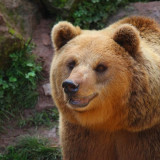 brown-bear-5549435_960_720