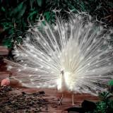 peacock-4702396_960_720