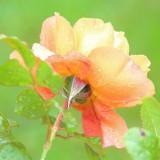 climbing-rose-5579072_960_720