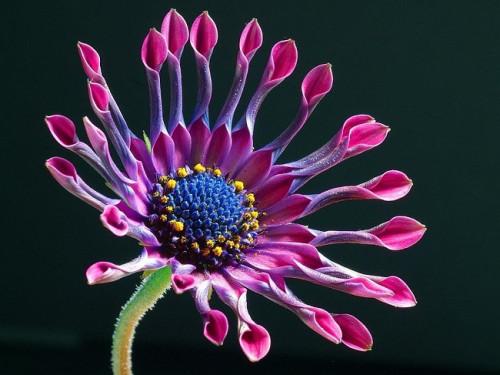 african-daisy-3413_960_720.jpg