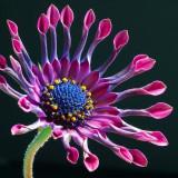 african-daisy-3413_960_720