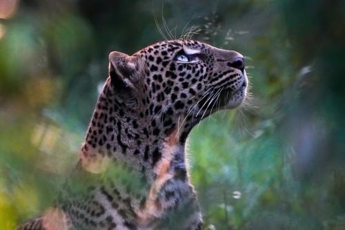 leopard-5582417_960_720.jpg