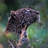 leopard-5582417_960_720