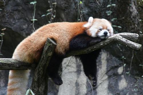 red-panda-5587028_960_720.jpg