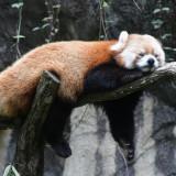red-panda-5587028_960_720
