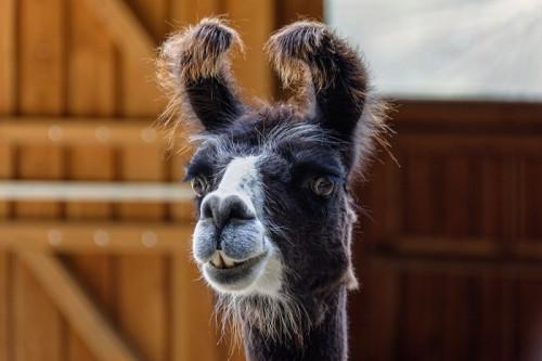 alpaca-5604394_960_720.jpg
