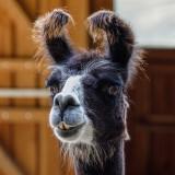 alpaca-5604394_960_720