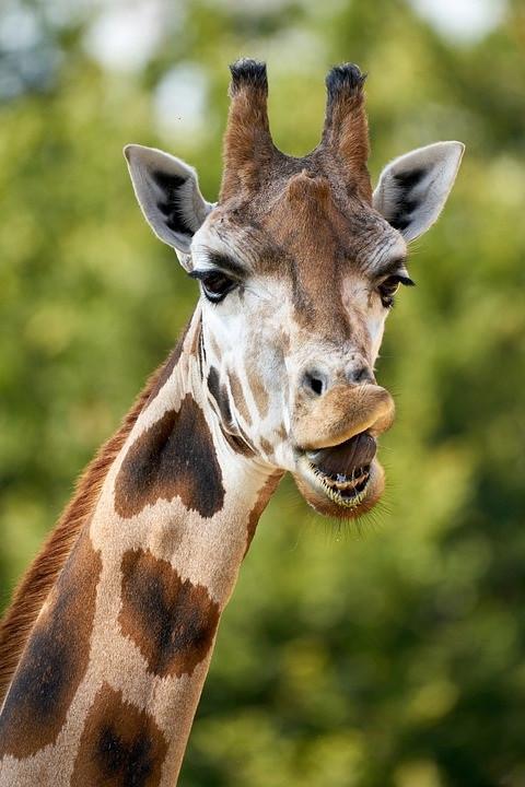 giraffe-5603867_960_720.jpg