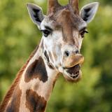 giraffe-5603867_960_720
