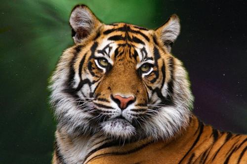 tiger-5625223_960_720.jpg