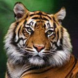 tiger-5625223_960_720
