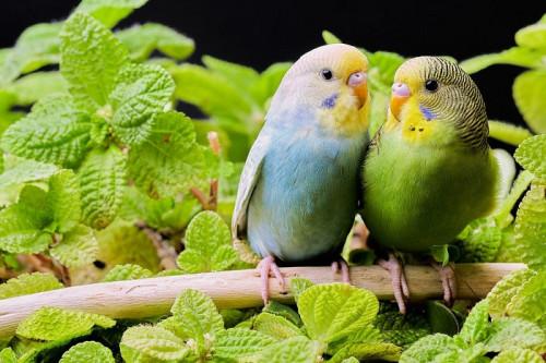 parakeets-5631500_960_720.jpg