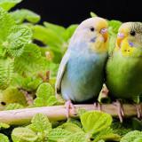 parakeets-5631500_960_720