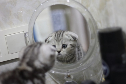 the-kitten-looks-in-the-mirror-5491982_960_720.jpg