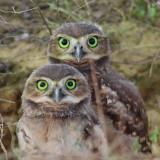 owls-5674189_960_720