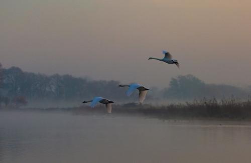 swans-5722649_960_720.jpg