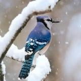 blue-jay-5749571_960_720