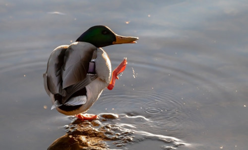 duck 5745379 960 720