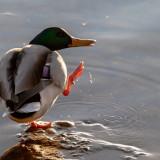 duck-5745379_960_720