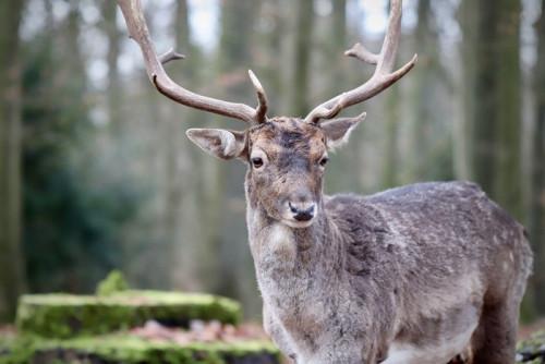 fallow-deer-4743238_960_720.jpg