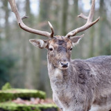 fallow-deer-4743238_960_720