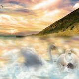 swans-5705095_960_720
