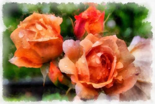 rose-5939856_960_720.jpg