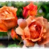 rose-5939856_960_720