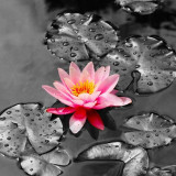 water-lily-5934419_960_720