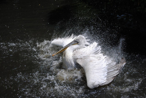 pelican-763769_960_720.jpg