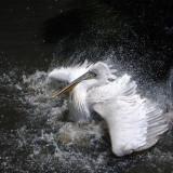 pelican-763769_960_720