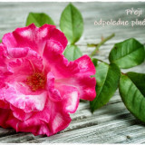 rose-5572854_960_720