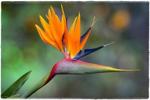 bird-of-paradise-6135173_960_720.jpg