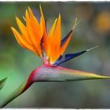 bird-of-paradise-6135173_960_720