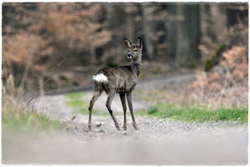 deer-6201214_960_720.jpg