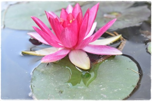 lotus-5965604_960_720.jpg