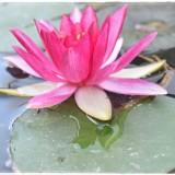 lotus-5965604_960_720