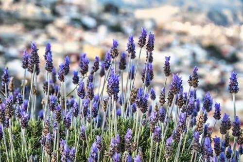lavenders-6199357_960_720.jpg