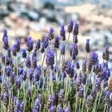 lavenders-6199357_960_720