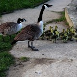 canada-geese-6248406_960_720