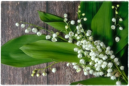 lily-of-the-valley-6270742_960_720.jpg