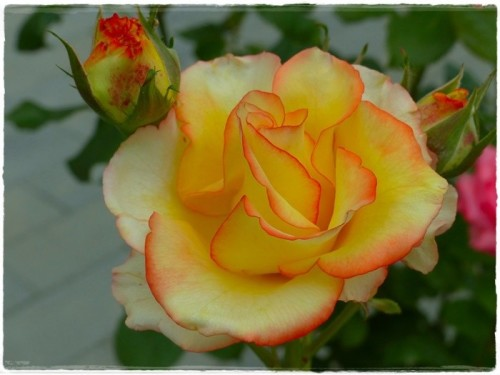 rose-6283226_960_720.jpg