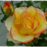 rose-6283226_960_720