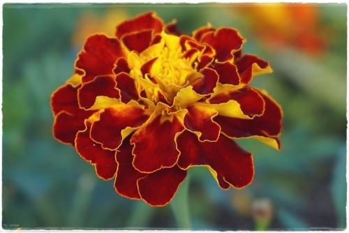 orange-marigold-6305348_960_720.jpg